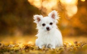 Картинка листья, собака, чихуахуа, боке, пёсик