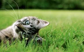 Обои кошка, трава, милота, кот