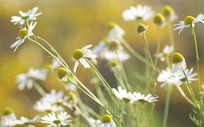 Обои цветы, свет, природа, растения, стебли, белые, цвет, тепло, ромашки, лепестки, зелень, размытость, лето, солнце, трава
