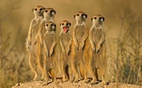 Картинка группа, зверьки, сурикаты