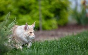 Картинка кошка, лето, охота