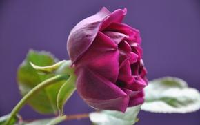 Обои роза, бутон, лепестки, листья, макро