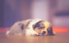 Обои puppy, sleeping, dreaming, australian shepherd
