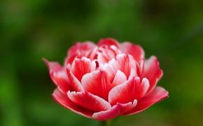 Обои цветок, розовый, тюльпан, бутон