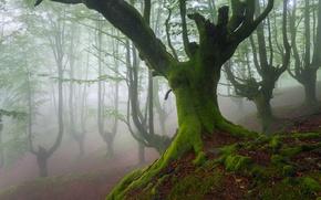 Обои Бук, Бискайя, Испания, страна Басков, деревья, мох, дымка, Май, весна