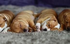 Картинка сон, щенки, ленивый, ковровое покрытие