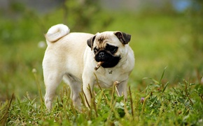 Картинка зелень, трава, собака, щенок, Мопс