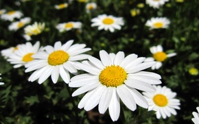 Картинка цветок, лето, ромашки, солнышки