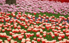 Обои парк, тюльпаны, красные, оранжевые