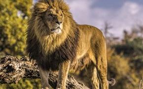 Обои царь зверей, дикая кошка, хищник, лев