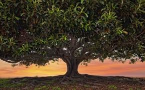 Картинка листья, корни, дерево, крона, Pacific Beach, Ficus Macrophylla