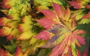 Обои осень, листья, макро, багрянец