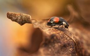 Обои ladybird, autumn, ladybug, leaf