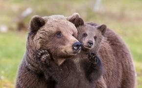 Картинка лето, медведи, природа