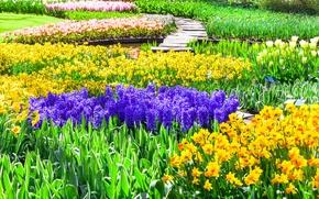 Картинка цветы, парк, тюльпаны, Нидерланды, разноцветные, нарциссы, Keukenhof, гиацинты, Lisse, Кекенхоф