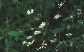 Картинка лето, природа, ромашки, Цветы