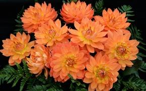 Картинка оранжевый, лепестки, георгины