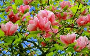Обои цветы, дерево, магнолия, лепестки, небо, весна, листья
