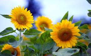 Картинка цветы, солнечные, подсолнечник