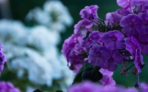 Картинка цветы, природа, растения, сиреневые