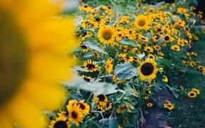 Обои цветы, цветочки, цветочек, подсолнух