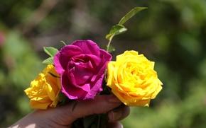 Картинка лето, розы, Цветы, растения, шиповник