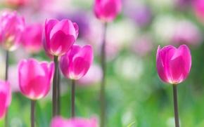 Обои весна, лепестки, тюльпаны, луг, стебель