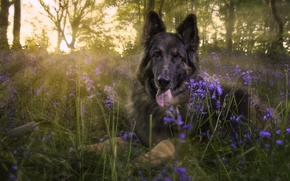 Картинка взгляд, цветы, поляна, собака, колокольчики, овчарка, Немецкая овчарка