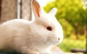 Картинка размытость, кролик, белый, природа