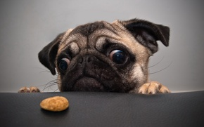 Картинка собака, мопс, печенька