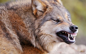 Картинка злость, волк, хищник, клыки, оскал, зверь, санитар