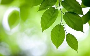 Картинка листва, ветвь, зелёный фон, вяз