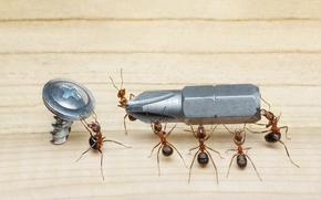Картинка макро, насекомые, ситуация, муравьи, пол, отвертка, шуруп, обои от lolita777