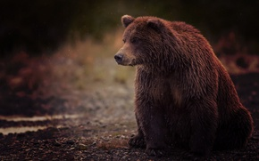 Картинка мокрый, медведь, сидит, wet, bear, brown, бурый, sits, toed, косолапый