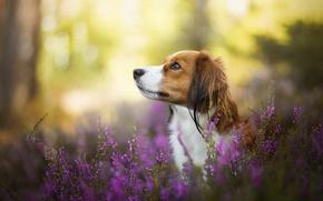 Картинка собака, боке, вереск, Коикерхондье
