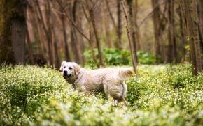 Картинка лес, трава, деревья, цветы, собака, ретривер