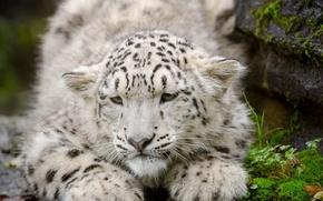 Картинка кошка, морда, ирбис, снежный барс, детёныш, котёнок