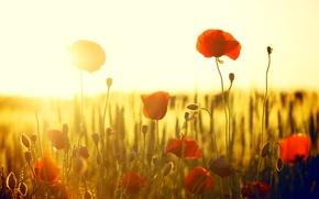 Картинка цветы, flowers, широкоэкранные, HD wallpapers, обои, мак, поле, полноэкранные, маки, солнце, background, fullscreen, красный, широкоформатные, ...