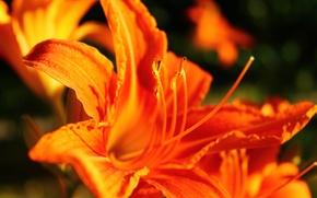 Картинка цветок, макро, цветы, оранжевый, фон, widescreen, обои, рыжий, wallpaper, форма, flower, широкоформатные, background, полноэкранные, HD …