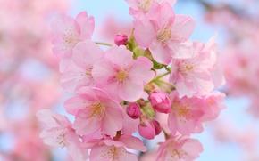 Обои макро, вишня, цветение