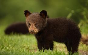 Обои взгляд, чёрный медведь, Барибал, медвежонок