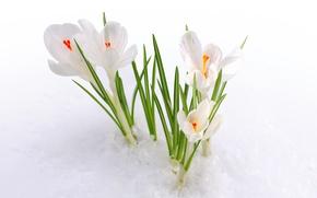 Обои природа, весна, снег, крокус