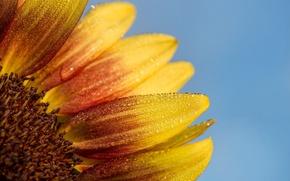 Картинка sky, drops, petals, sunflower