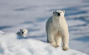 Картинка медведь, белый, когти, снег, лапы