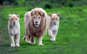 Картинка Фон, зелёная, трава, семейство, тигры, львы, лев, грива