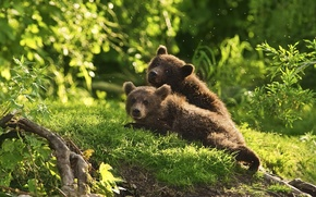 Обои животные, медведи, комары, лес