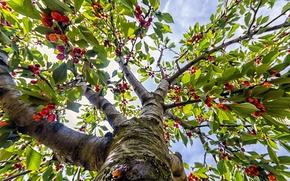 Картинка небо, листья, ветки, ягоды, дерево, ствол, черешня