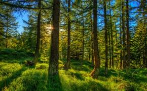 Картинка Природа, Трава, Деревья, Швейцария, Лес, Ель, Ствол