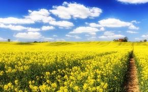 Обои небо, облака, поле, цветы, рапс