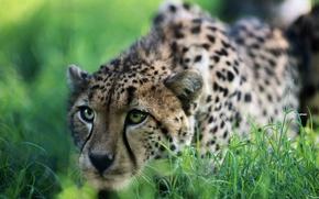 Обои трава, гепард, охота